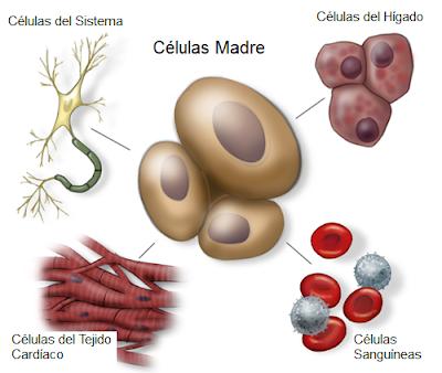 qué hacen las células madre