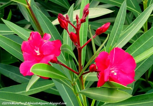 red oleander blooms