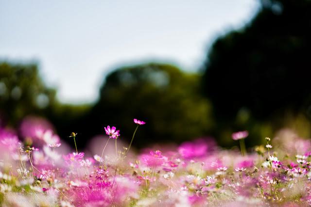 昭和記念公園の西花畑のコスモス