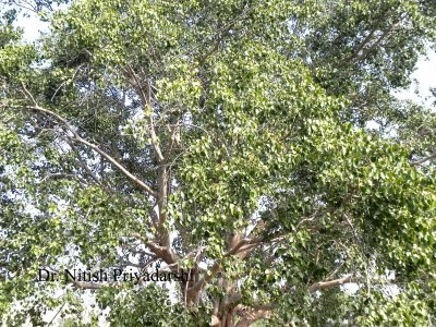 what is ecological importance of banyan tree It is also important that their offspring disperse being too crowded together can  end up in too much  it was among the first tree species to arrive on the bleak  tundra after the last ice age the seeds  seed dispersal and ecological  restoration.