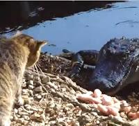 gato cocodrilo