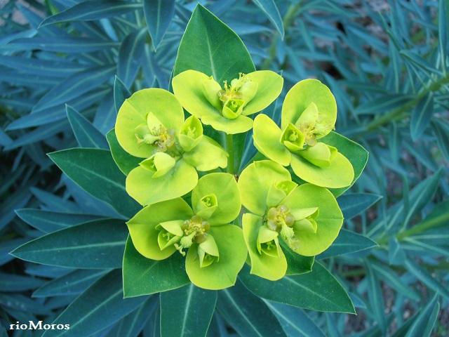 Inflorescencia de LECHETRENZA BALEAR: Euphorbia margalidiana