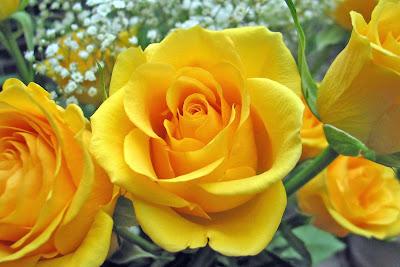 gambar mawar cantik warna kuning bunga