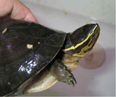 Reptil mania - Cuora amboinensis, reptiles pictures