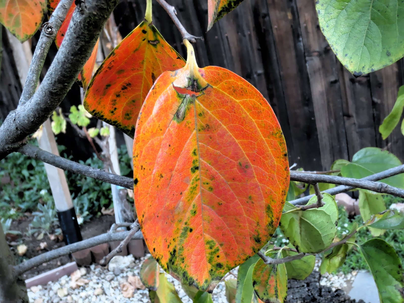 how to fix persimmon leaves turning yellow