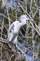 Teenager Little Blue Heron photo by Frank Hooey