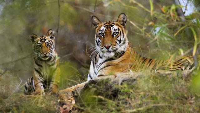 Tigers of Bandhavgarh