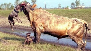 pitbull, pit bull, En la imagen, dos Pit Buls atacan a un toro.
