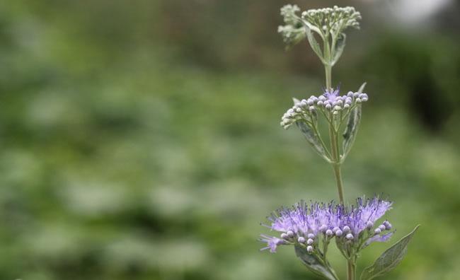 Blue Mist Spirea Flowers