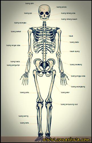 Jenis, Bentuk, dan Susunan Tulang | www.zonasiswa.com
