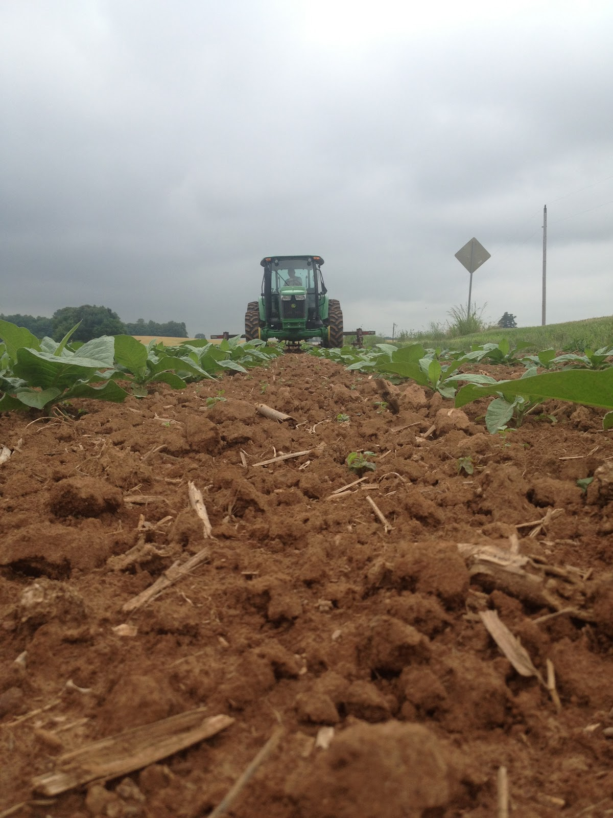 the tobacco is plowed to keep the ground loose and help control weeds