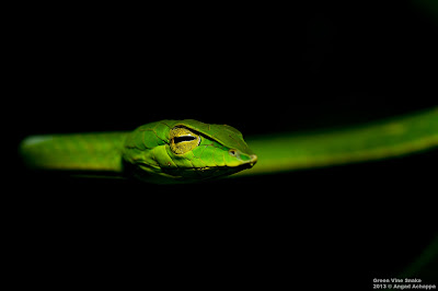 Ahaetulla nasuta, snakes of india, indian snakes, reptiles, thin slender green snake, indian wildlife, wildlife photography, photographing snakes, top indian willdife photographer, best indian wildlife photographer, wildlife stock images, angad achappa
