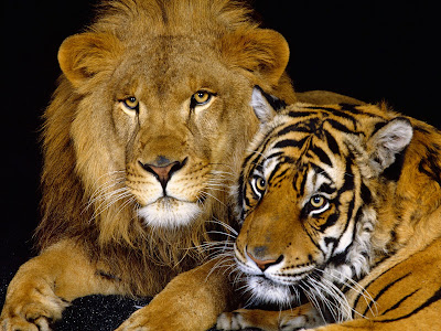 Lion and Tiger Picture