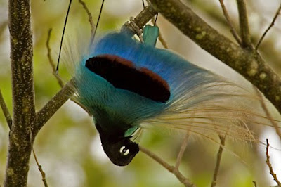 Blue Bird of Paradise Photos