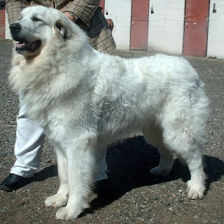 perro gran pirineo