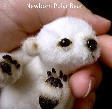 Newborn Polar Bear