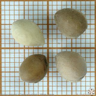 Prunus mahaleb seeds = Cerasus mahaleb seeds - Wiśnia wonna nasiiona