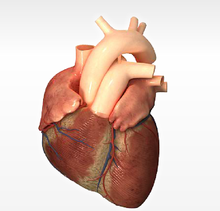 Pin anatomia del corazon humano imagenes pictures on pinterest for Fotos del corazon