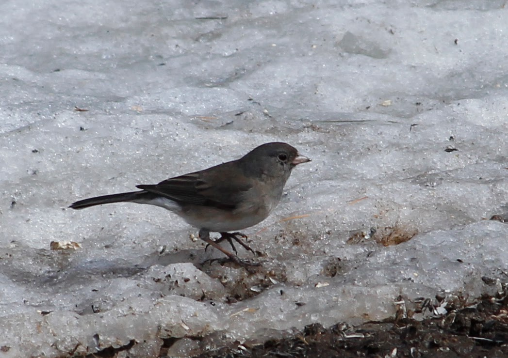 junco looking for seeds