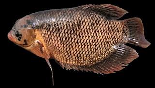 umpan ikan mujair danau,teknik memancing ikan mujair,umpan mancing mujaer,umpan ikan nila,pemancingan mujair,umpan ikan mujair di empang,umpan ikan mujair nila,umpan ikan mujair air payau,