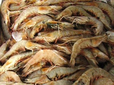 Shrimp Species Gulf of Mexico Shrimp Species