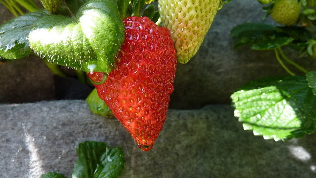 Strawberry Vertical Garden made with Florafelt Living Wall Planters - http://PlantsOnWalls.com