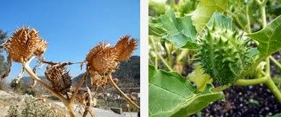 jimsonweed dangerous herbs