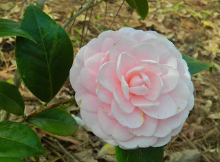 Formal double camellia in South Carolina