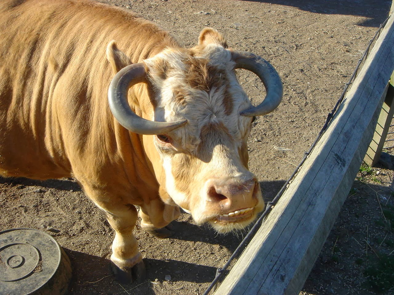 Funny animals of the week - 14 February 2014 (40 pics), cow with underbite