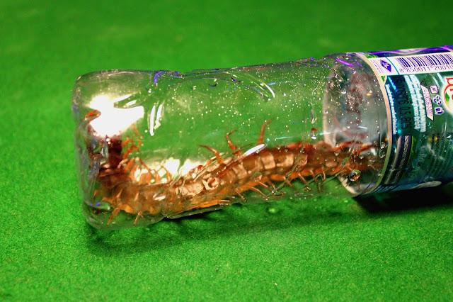 Big centipede Thailand