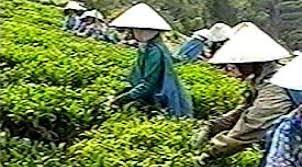 teh di dataran tinggi