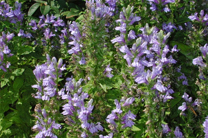 Lobelia herb for asthma
