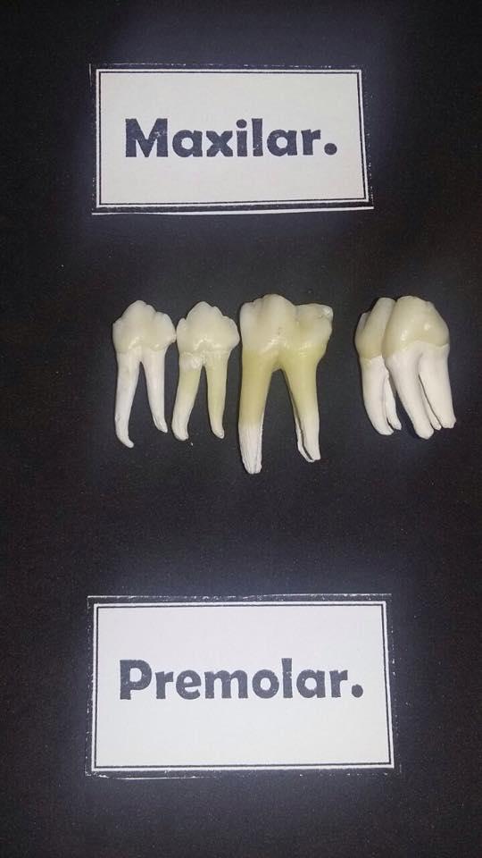 Dentadura ESPECIE : Porcina   Anatomía :Grupo 7 . Facultad de ...