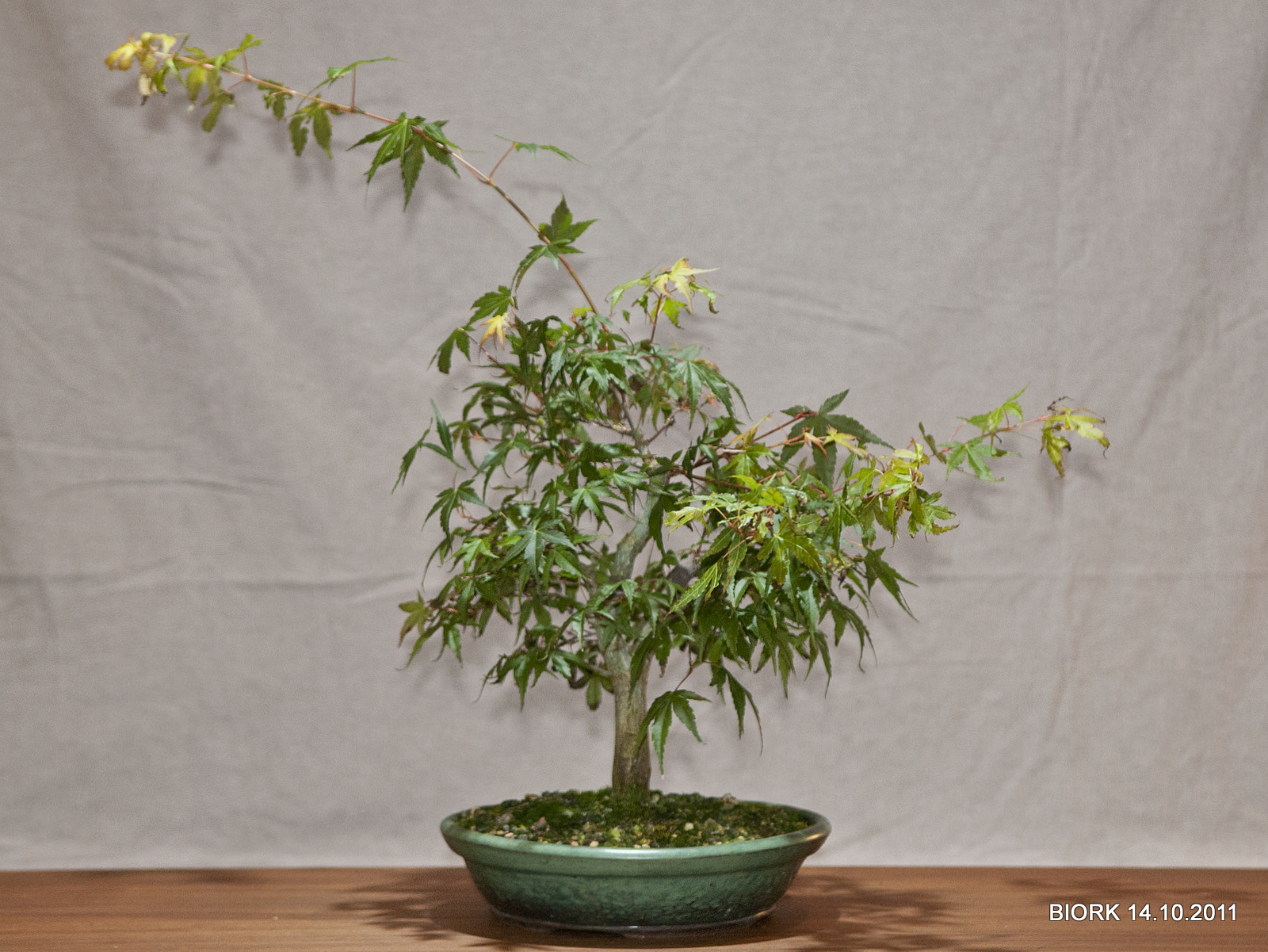 My Bonsai Katzura Maple Bonsai Fall Update