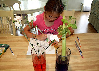 In this classic experiment, Tessa and I placed white carnations and celery in colored water. After forty-eight hours, Tessa observed the subtle changes that proved that water and nutrients do indeed move through tiny tubes in stems to leaves and flowers of plants. Afterward, I sliced through the stems so Tessa could get a closer look.