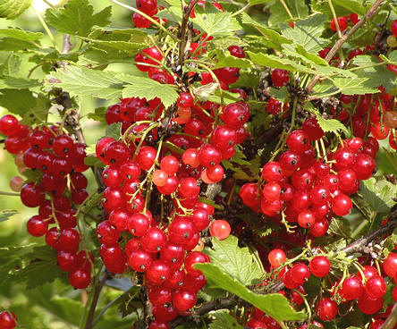 Bomb of vitamins known as currants and berries also called cluster