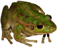 Green Frog Big Eyes