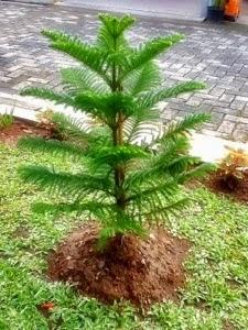 Jual Cemara Norfolk (Araucaria heterophylla) | suplier tanaman | jasa desain taman