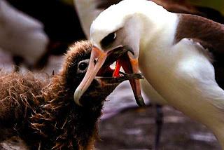 Funny Albatross