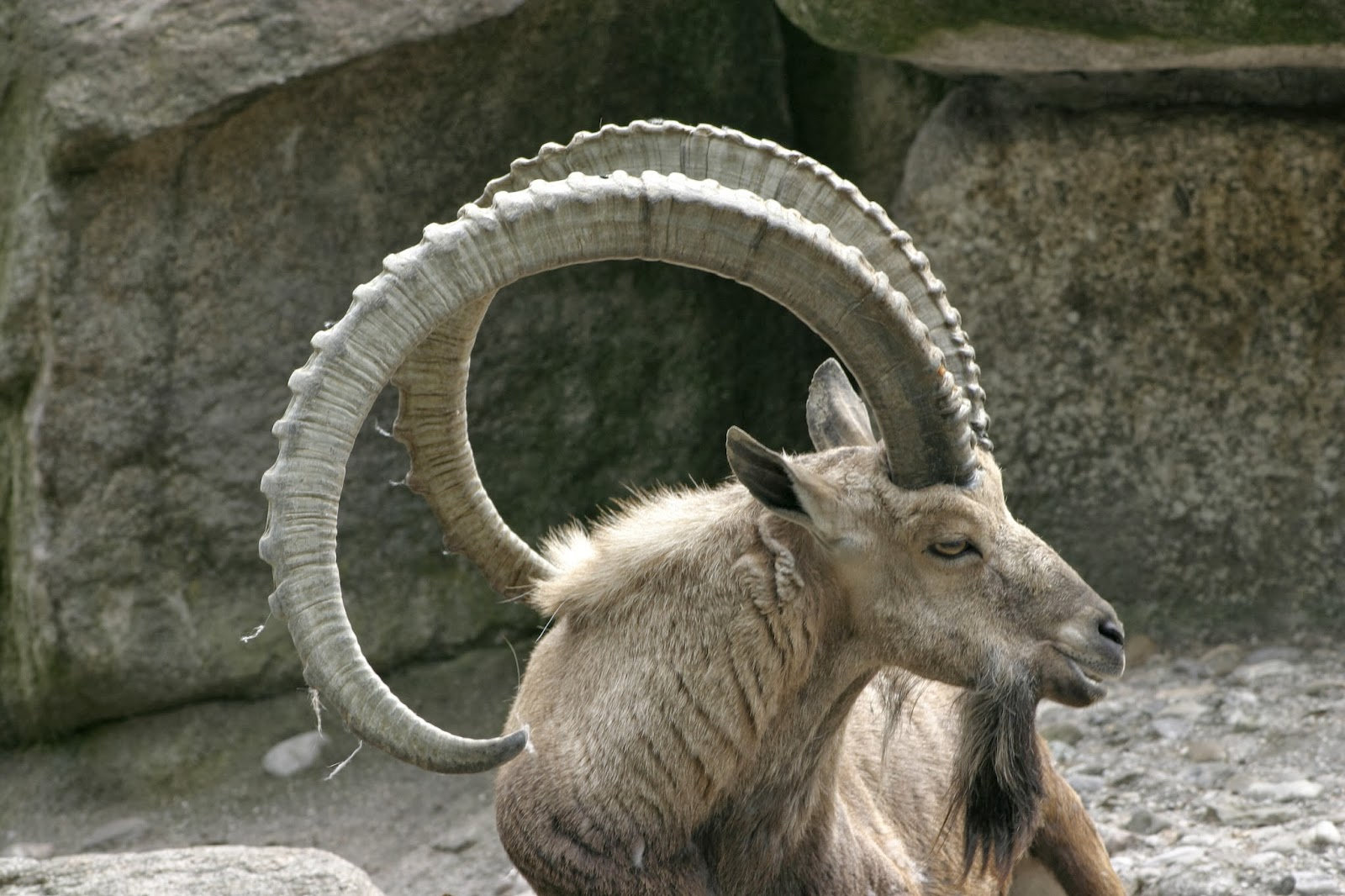 Ram\'s Horn: Sheep and mountain goats, and some adorablosity