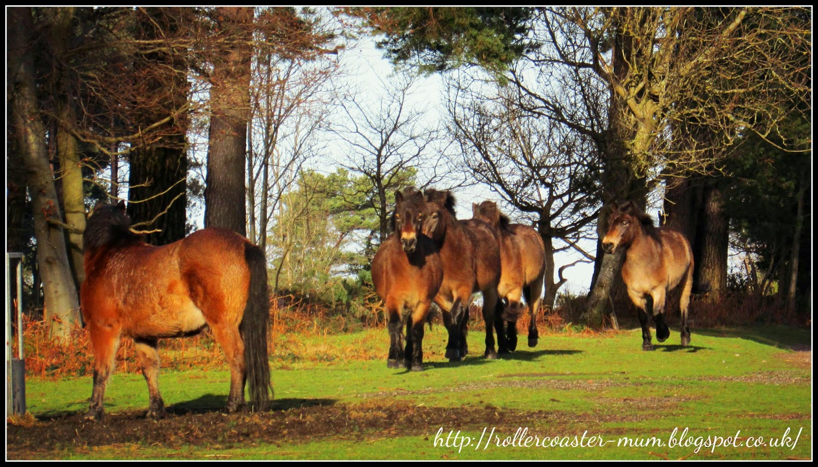 herd of Exmoor ponies, National Trust Devil's Punch Bowl, Surrey Hills