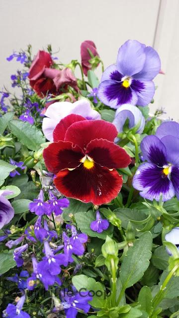 Pansies in window flower box