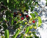 Mahlep tohumu elde etmek için olgun meyveleri sıyrılır.Güneşte kurutulur.Silindirler arasından geçirilerek çekirdek kırılır ve elenerek çekirdek tohum kabuğundan alınır. Tohumlar öğütülerek toz haline getirilirilerek Mahlep elde edilmiş olur.