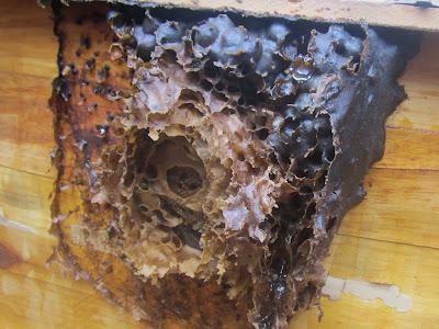 Ninho de abelha jatai com mel