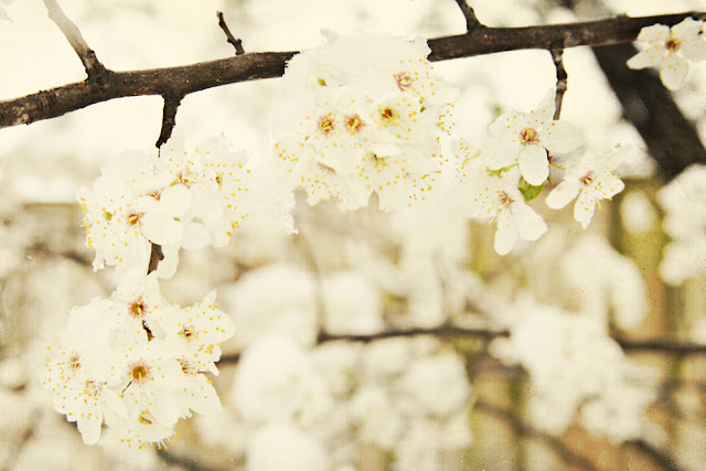 galia alena photography, spring snow on blossoms, Queenstown