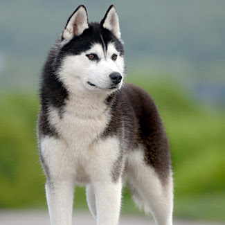 siberian husky dog breed puppy pets hound picture
