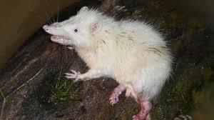 Moon Rat