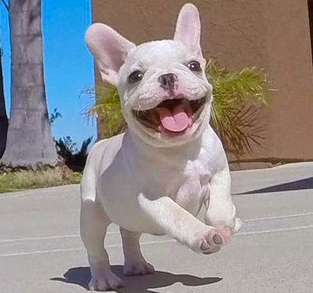 Happy Teacup French Bulldog Puppies Picture Of Puppies
