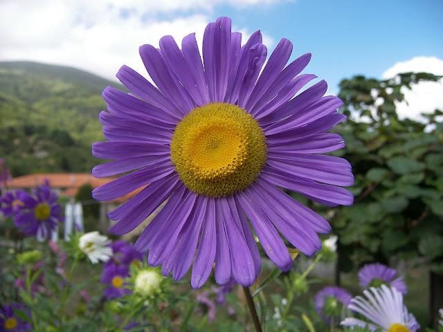 aster alpines flower