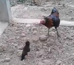 Bird fight with cock – rare video